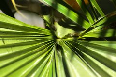 Green leaves of a palm tree spiral with a white middle. In the center. Close-up of fragments. In the category of creative abstract background of exotic summer Stock Images