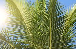 Green Leaves of a palm tree, sun and blue sky. Beautiful Exotic. Tropical Background. Palms in India, Goa Royalty Free Stock Photos