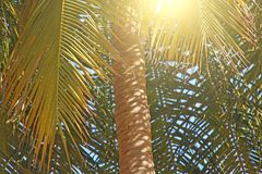 Green Leaves of a palm tree, sun and blue sky. Beautiful Exotic. Tropical Background. Palms in India, Goa Stock Image