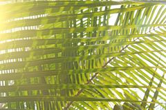 Green Leaves of a palm tree and the sun. Exotic Tropical backgro. Und. Palms in India, Goa. Copy Space Royalty Free Stock Images