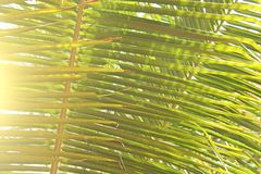 Green Leaves of a palm tree and the sun. Exotic Tropical backgro. Und. Palms in India, Goa. Copy Space Stock Photo