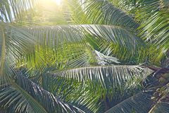 Green Leaves of a palm tree and the sun. Exotic Tropical background. Palms in India, Goa stock image