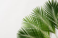 Green leaves of palm tree on white background.  royalty free stock photography