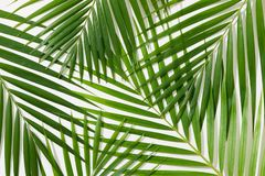 Green leaves of palm tree on white background.  stock photos