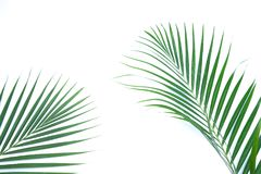 Green leaves of palm tree on white background. Green leaves of palm tree isolated on white background Stock Image