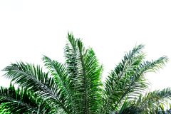 Green leaves of palm tree on white background. Green leaves of palm tree  on white background Royalty Free Stock Images