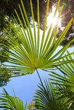 Green leaves of palm trees against the blue sky and bright sun Stock Photos
