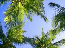 Green leaves of palm trees and coconuts grow bottom view against. The blue bright sky Royalty Free Stock Photos