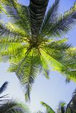 Green leaves of palm trees and coconuts grow bottom view against. The blue bright sky Royalty Free Stock Image