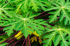 Green leaves of papaya with yellow ripe fruits Stock Images