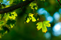 Green leaves on the tree. Green leaves in the park on sunny spring day Stock Images