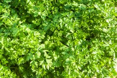 The green leaves of parsley. Lit with sunlight Royalty Free Stock Image