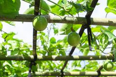 Green leaves and passion fruit brace in farm with sun light royalty free stock image