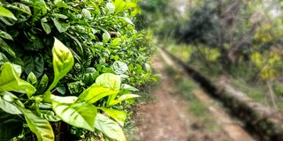 Green leaves beside the path royalty free stock photos