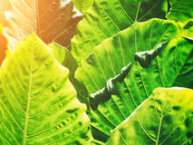 Green leaves pattern in garden with warm light. Abstract nature Stock Image