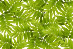 Green leaves pattern. Isolate. On white background royalty free stock images