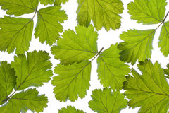 Green leaves pattern Stock Photography
