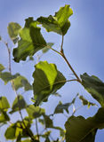 Green leaves on a pear tree Stock Photography