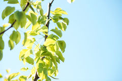 Green leaves pear tree in spring. Stock Images