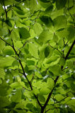Green leaves. Penetrated by the soft light Royalty Free Stock Photo