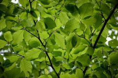 Green leaves. Penetrated by the soft light Royalty Free Stock Photos