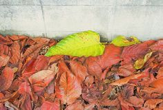 Green leaves in a pile of red leaves next to the cement wal royalty free stock photo