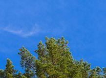 Green leaves of pine tree forest on blue sky with copy space for text. Looking up at pine trees with sun shining on needles against a clear blue sky, copyspace royalty free stock image
