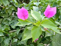 Green leaves pink flower in the garden stock photography