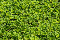 Green leaves of Pistia stratioteswater lettuce form thick floating mats covering the entire surface of the pond. Pistia stratioteswater cabbage,water lettuce Stock Photography
