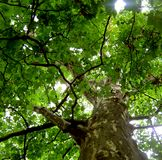 Plane tree crown seen from a frog perspective. Green, leaves, plane tree, summer, midday, crown, frog perspective, flora, trunk, deciduous, color, sunny day Stock Photography