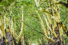 Green leaves on plane trees in summer in Poland. Green leaves on plane trees in summer in Poland stock photo