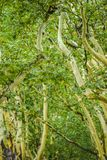 Green leaves on plane trees in summer in Poland. Green leaves on plane trees in summer in Poland royalty free stock images