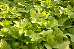 Green leaves plant Royalty Free Stock Image