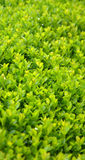 Green Leaves, Plant Background Royalty Free Stock Photo
