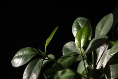 Green leaves of a plant with a black background stock images