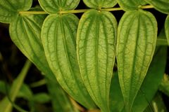 Green leaves of a plant royalty free stock photos