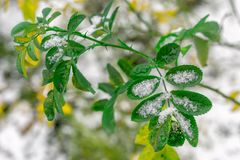 The green leaves of the plant covered with snow stock photos