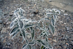 Green leaves of the plant covered with winter morning frost. Stock Photography