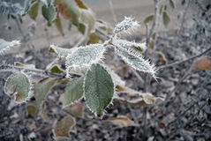 Green leaves of the plant covered with winter morning frost. Stock Photos