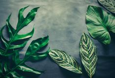 Green leaves plant growing, the tropical. Plant Royalty Free Stock Images