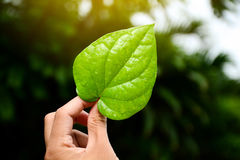 Green leaves of the plant in hand Natural background. Green leaves of the plant in hand Natural background Royalty Free Stock Images