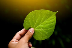 Green leaves of the plant in hand Natural background. Green leaves of the plant in hand Natural background Stock Image