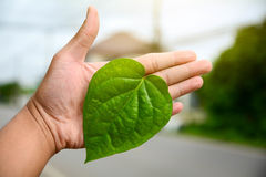 Green leaves of the plant in hand Natural background. Green leaves of the plant in hand Natural background Stock Photography