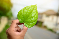 Green leaves of the plant in hand Natural background. Green leaves of the plant in hand Natural background Stock Photos