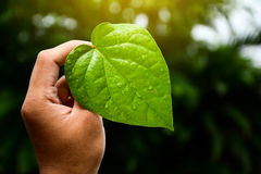 Green leaves of the plant in hand Natural background. Green leaves of the plant in hand Natural background Stock Images