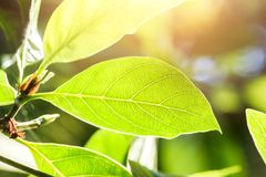 Green leaves plant leaf on the green tree sunlight. Backgrounds Royalty Free Stock Images