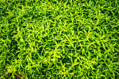 Green leaves plant pattern in the summer Royalty Free Stock Photography