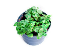 Green leaves plant in plastic pot Royalty Free Stock Photography
