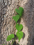 Green leaves of plant shape heart. Stock Image