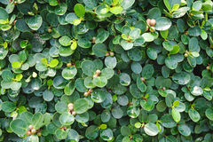 Green leaves plant after showering Royalty Free Stock Image